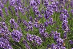 Cierre de la flor de la lavanda para arriba en un campo con las abejas Imagenes de archivo