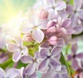 Cierre de la flor de la lila para arriba en colores en colores pastel en luz del sol Foto de archivo libre de regalías