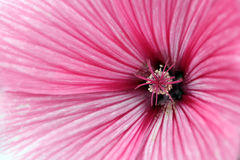 Cierre de la flor de la malva para arriba Imagenes de archivo