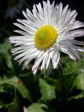 Cierre de la flor de la margarita para arriba Imagen de archivo