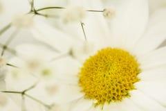 Cierre de la flor de la margarita para arriba Fotos de archivo libres de regalías