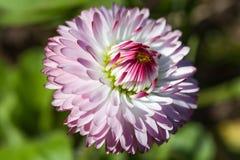 Cierre de la flor de la margarita para arriba, región de Tver, Rusia Imagenes de archivo