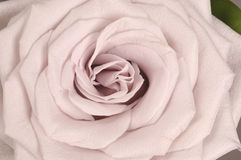 Cierre de la flor de Rose para arriba Imagen de archivo libre de regalías