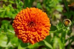 Cierre de la flor del Calendula para arriba Fotos de archivo libres de regalías
