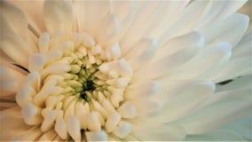 Cierre de la flor del crisantemo encima de la macro blanca del ramo fotografía de archivo