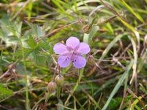 Cierre de la flor del geranio del prado para arriba imagenes de archivo