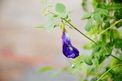 Cierre de la flor del guisante de mariposa encima del fondo de la naturaleza Foto de archivo