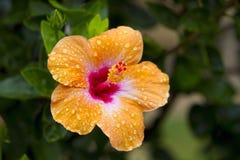 Cierre de la flor del hibisco para arriba Imagen de archivo
