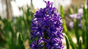 Cierre de la flor del jacinto para arriba metrajes