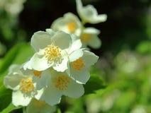 Cierre de la flor del jazmín encima del fondo imagen de archivo