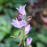 Cierre de la flor del laxa de Triteleia para arriba Fotografía de archivo libre de regalías