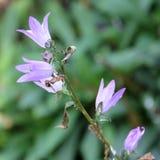 Cierre de la flor del laxa de Triteleia para arriba Imagen de archivo
