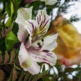 Cierre de la flor del lirio para arriba Foto de archivo libre de regalías