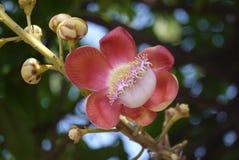 Cierre de la flor del obús para arriba Fotos de archivo