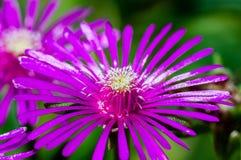 Cierre de la flor de la planta de hielo encima de la fotografía con los detalles macros Fotografía de archivo