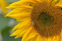 Cierre de la flor de Sun para arriba con la abeja Imagen de archivo libre de regalías