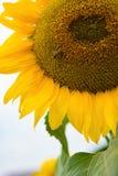 Cierre de la flor de Sun para arriba con una abeja de la miel que trabaja encendido Fotos de archivo