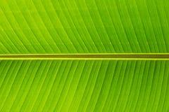 Cierre de la hoja del plátano para arriba Imagen de archivo libre de regalías