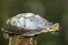 Cierre de la imagen de la tortuga para arriba en el agua Imágenes de archivo libres de regalías