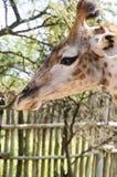 Cierre de la jirafa del bebé encima de la cabeza Imagen de archivo