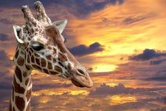 Cierre de la jirafa de Tanzania encima del retrato en la puesta del sol Fotos de archivo
