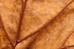 Cierre de la macro de la hoja encima de las venas y de la textura Imagenes de archivo