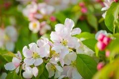 Cierre de la macro del flor de la rama del manzano encima del tiro en las flores blancas a Fotografía de archivo
