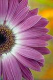 Cierre de la margarita rosada y blanca para arriba foto de archivo libre de regalías
