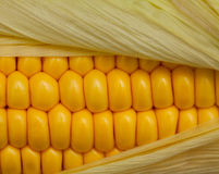 Cierre de la mazorca de maíz para arriba Imagen de archivo