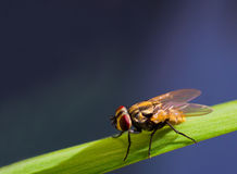 Cierre de la mosca de la casa para arriba en la hierba verde, macro del insecto de la mosca de Drosophile Imagenes de archivo