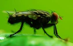 Cierre de la mosca de la casa para arriba Imagen de archivo