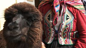 Cierre de la mujer y de la llama para arriba en el cusco, Perú almacen de metraje de vídeo