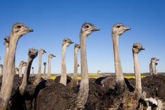 Cierre de la multitud de la avestruz para arriba Foto de archivo