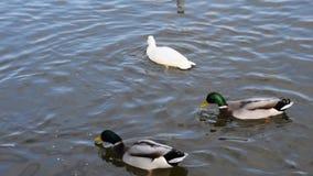 Cierre de la nadada de los patos para arriba almacen de metraje de vídeo