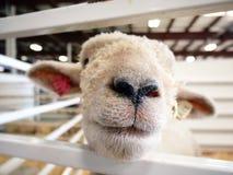 Cierre de la nariz de las ovejas para arriba Fotografía de archivo libre de regalías