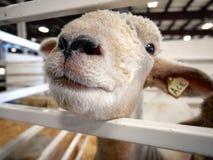 Cierre de la nariz de las ovejas para arriba Imagen de archivo