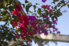 Cierre de la pérgola de Santa Rita o de la buganvilla para arriba Fotos de archivo