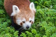 Cierre de la panda roja para arriba de la cara Foto de archivo libre de regalías