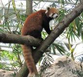 Cierre de la panda roja para arriba en el árbol Imagen de archivo libre de regalías