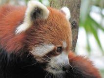 Cierre de la panda roja para arriba en el árbol Fotografía de archivo libre de regalías