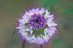 Cierre de la planta de la abeja para arriba Imagen de archivo libre de regalías