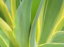 Cierre de la planta del agavo para arriba Fotografía de archivo