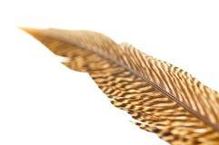 Cierre de la pluma de cola del faisán de oro para arriba Fotografía de archivo libre de regalías