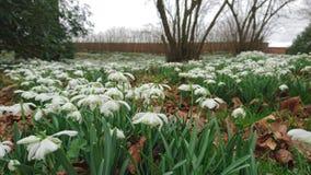 Cierre de la primavera de las flores de Snowdrops encima de 2 Fotos de archivo