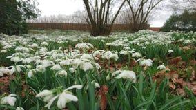 Cierre de la primavera de las flores de Snowdrops para arriba Fotos de archivo libres de regalías