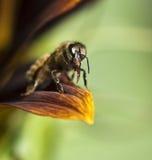 Cierre de la probóscide de las abejas de la miel para arriba Foto de archivo libre de regalías