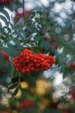Cierre de la rama de árbol de serbal encima del aire libre en el fondo verde, bayas de serbal anaranjadas, fondo natural, sorbas  imagen de archivo libre de regalías