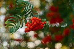 Cierre de la rama de árbol de serbal para arriba foto de archivo