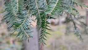 Cierre de la rama de árbol de abeto para arriba Pino del árbol de navidad almacen de video