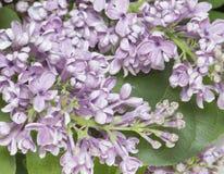 Cierre de la rama de la lila para arriba. Foto de archivo